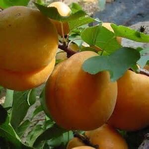 абрикосы приносят пользу